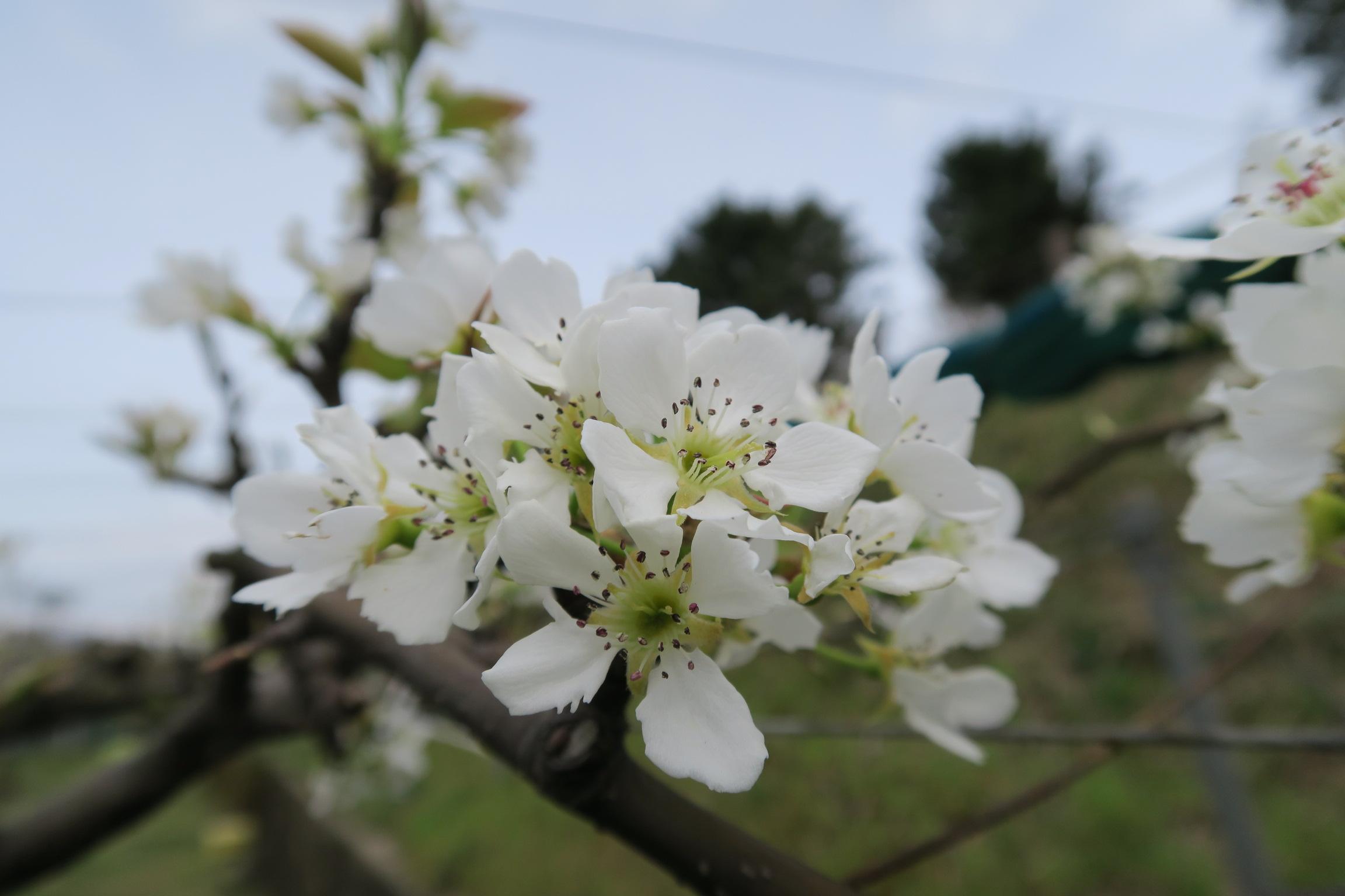 ナシの花(長十郎)
