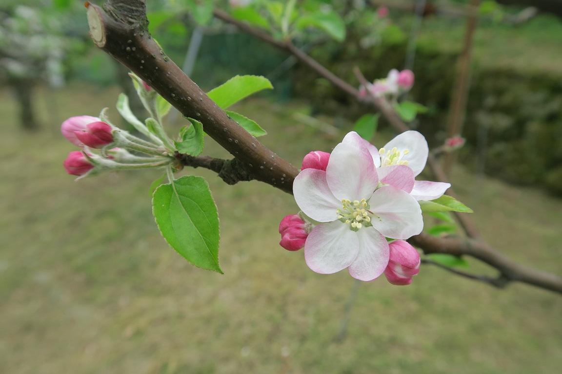 リンゴの花(つがる)