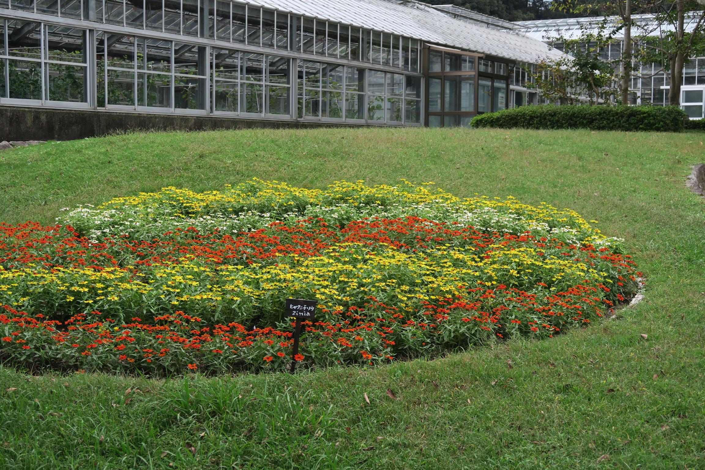 ジニアの花壇ウェーブ2