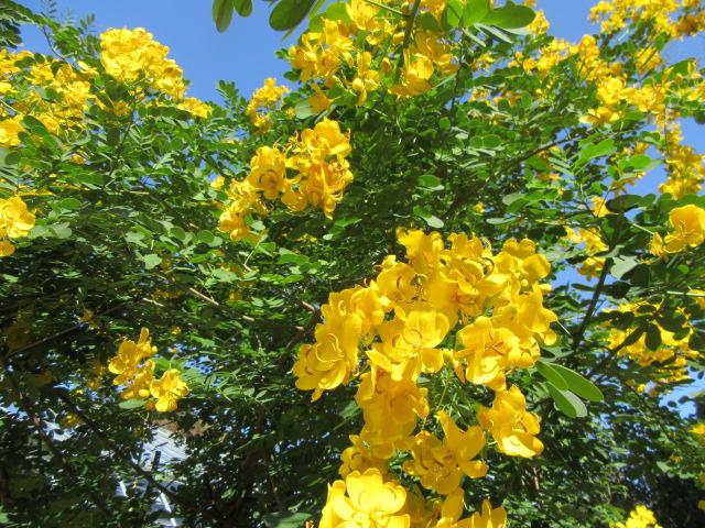 コバノセンナの花