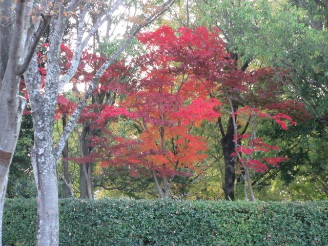 噴水ひろばモミジの紅葉
