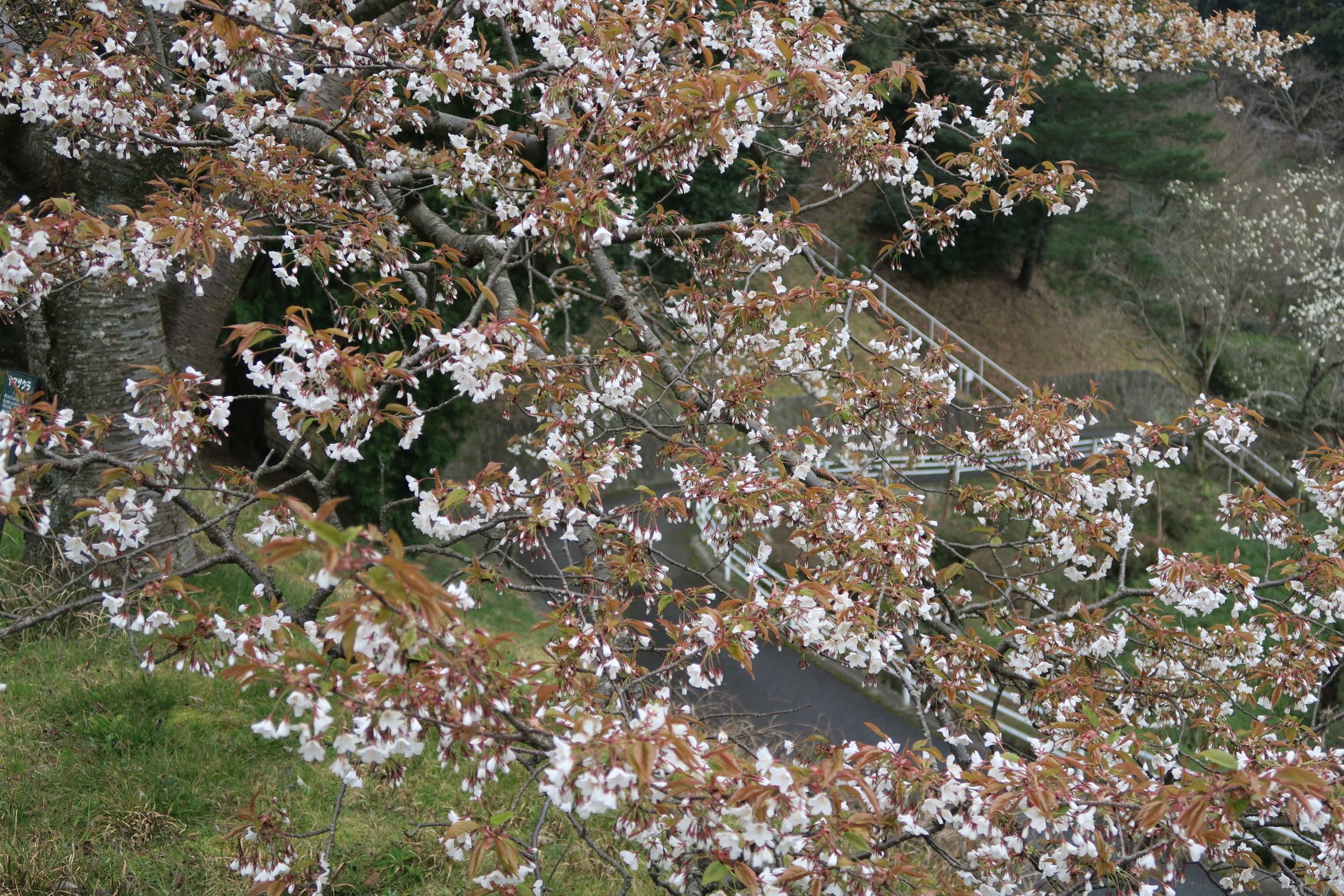 ヤマザクラ3分咲き近景
