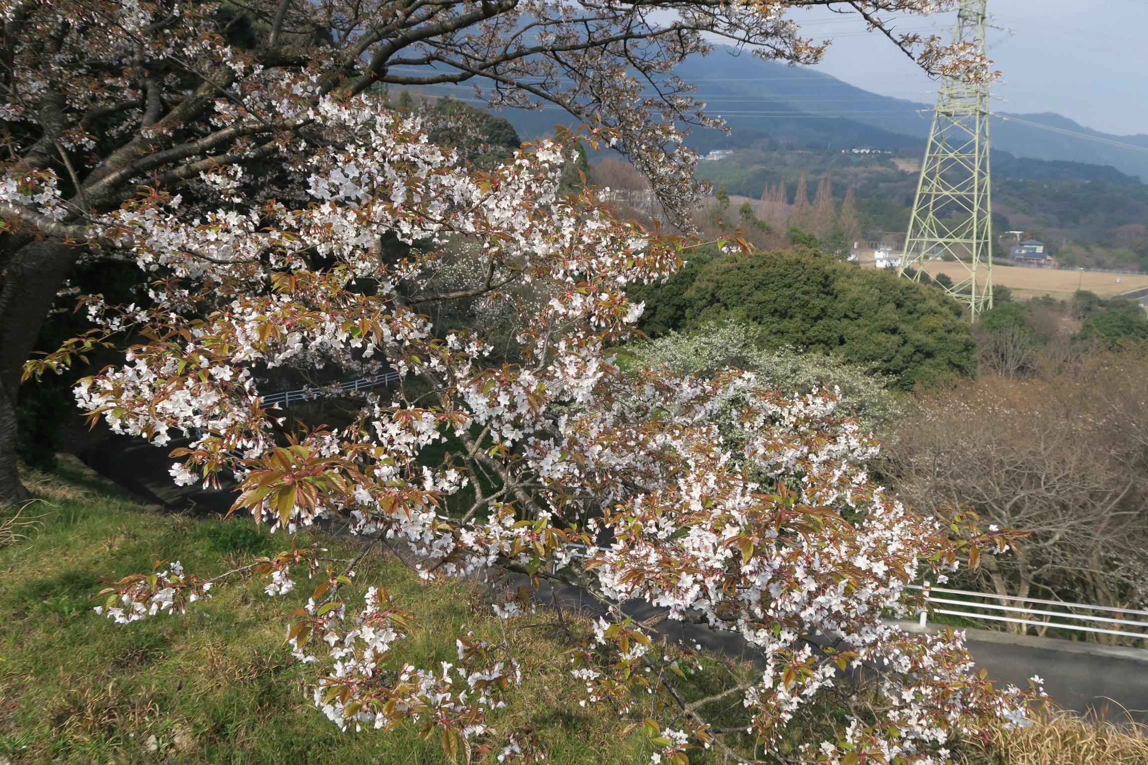 3月30日ヤマザクラ近景