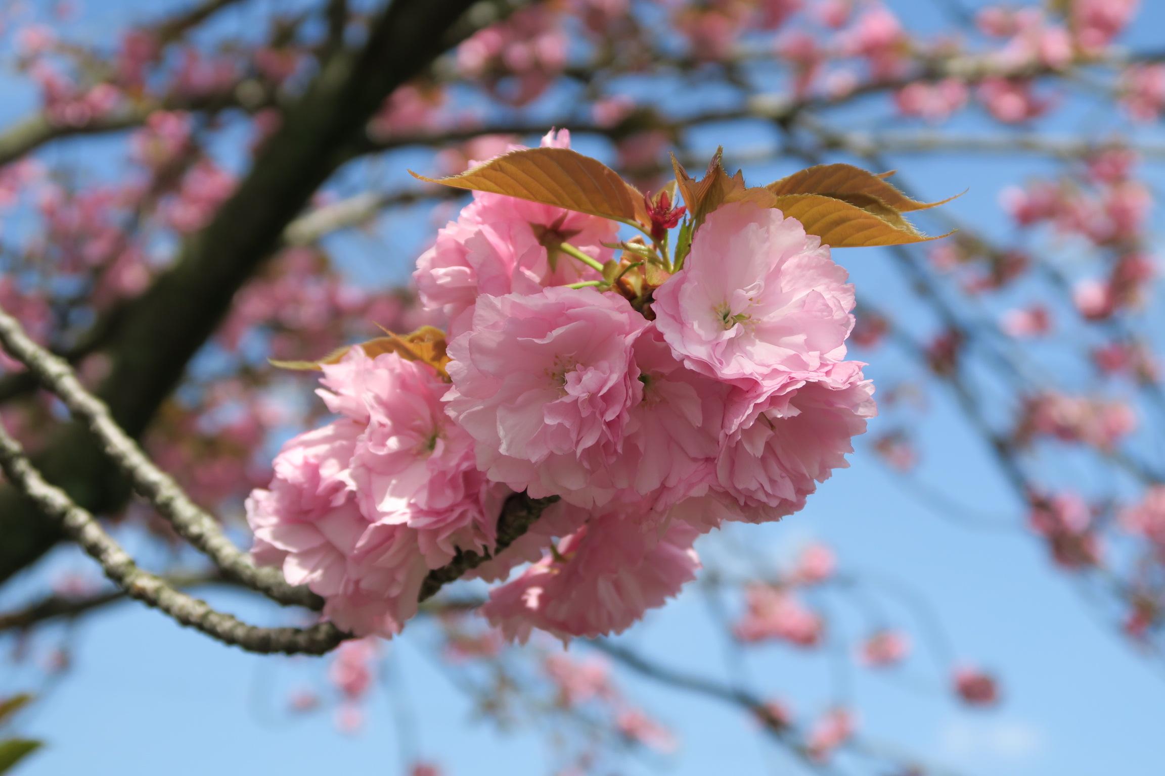 サトザクラ関山花近景