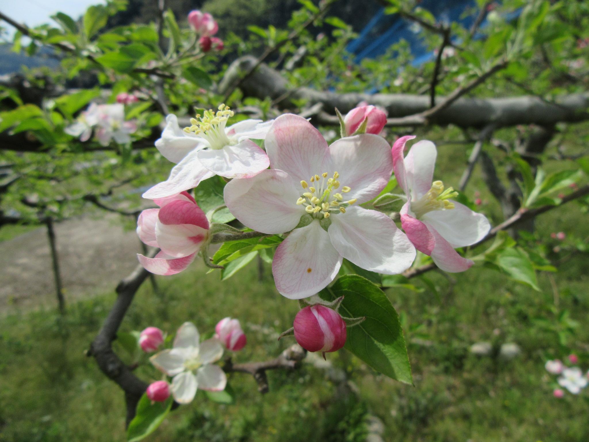 リンゴ陸奥2