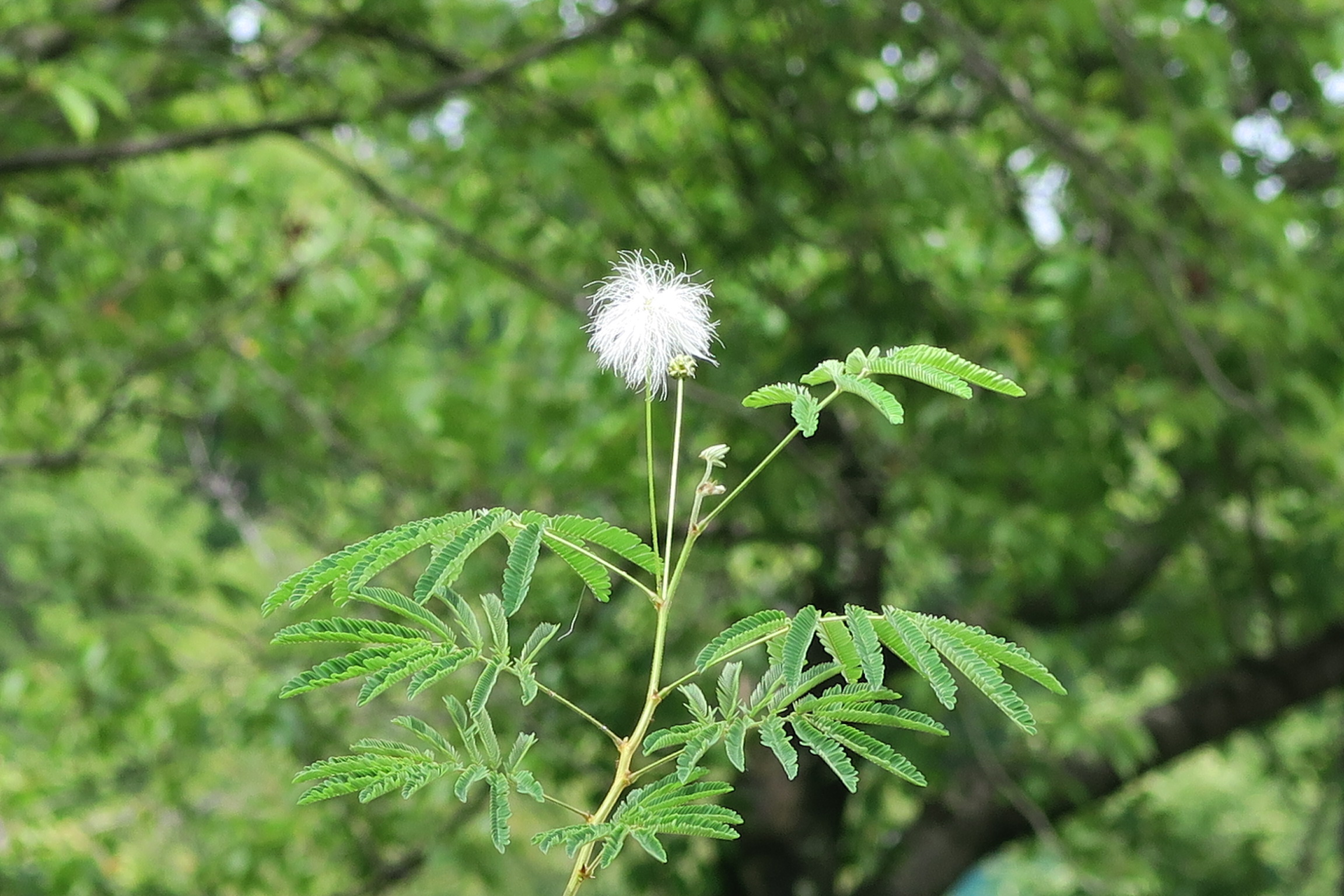 ねむの木花(白)