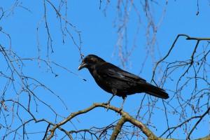 crow-284491_640