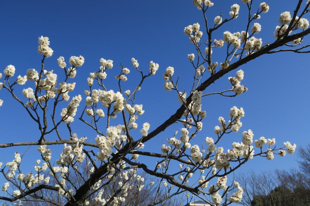 色玉垣の花