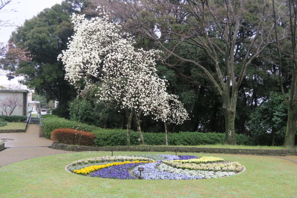 ハクモクレンと花壇