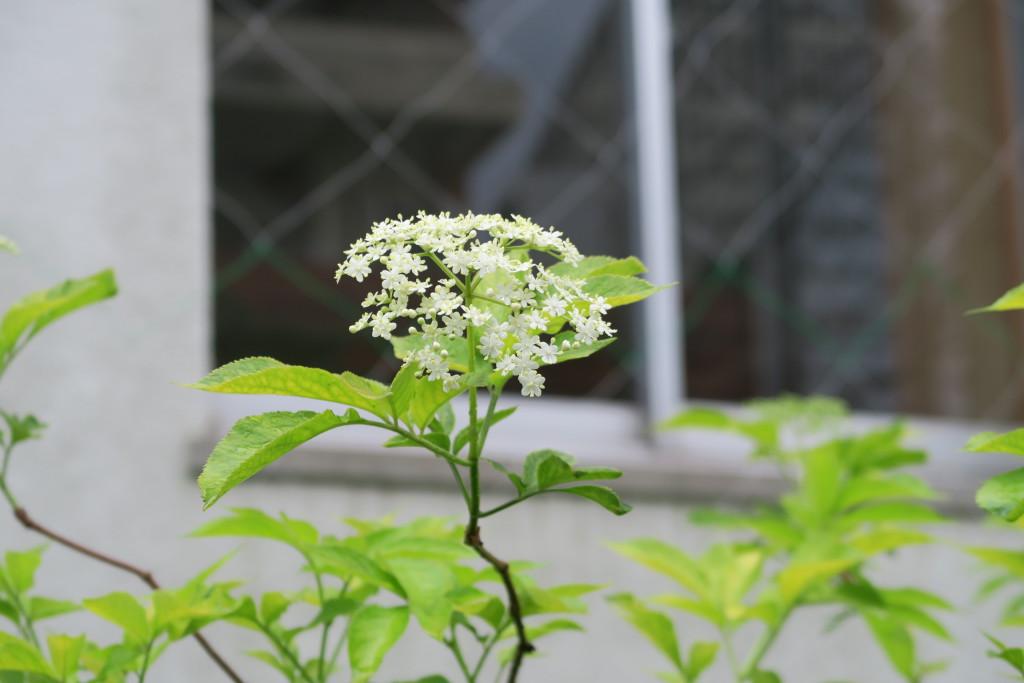 西洋ニワトコ花3