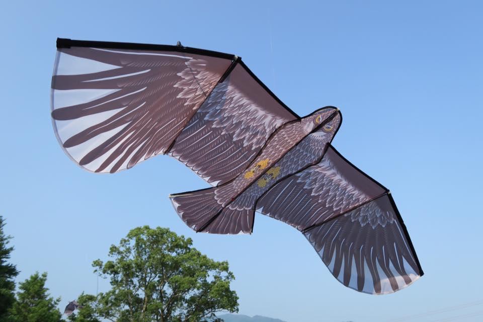 カイト鷹1
