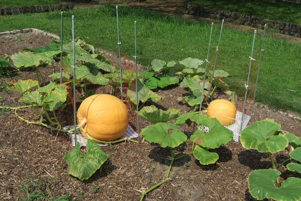 ジャンボかぼちゃ1