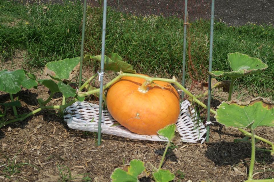 ジャンボかぼちゃ2
