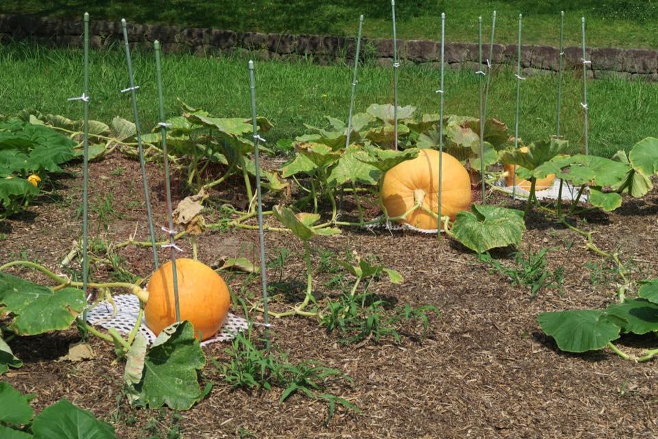 ジャンボかぼちゃ4